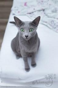 Russischblau Katze Fee-15