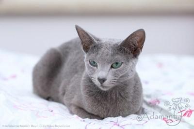 Russischblau Katze Fee-5