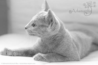 Russisch blau Katze Mia-10