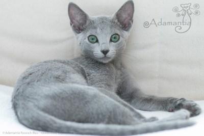 Russischblau Katze Mia-11