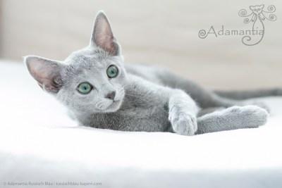 Russischblau Katze Mia-12