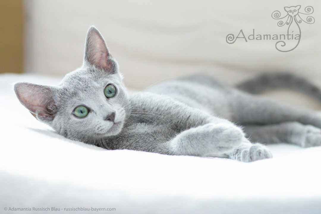 Russisch blau Katze Mia-13