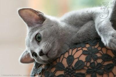 Russischblau Katze Mia entspannt auf Schulter