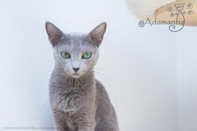 Russischblau Katze Mia-17