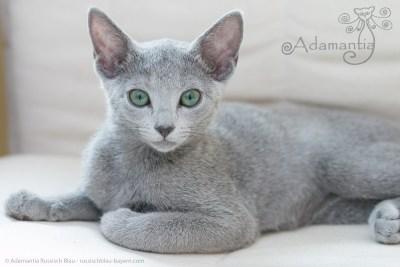 Russischblau Katze Mia-5