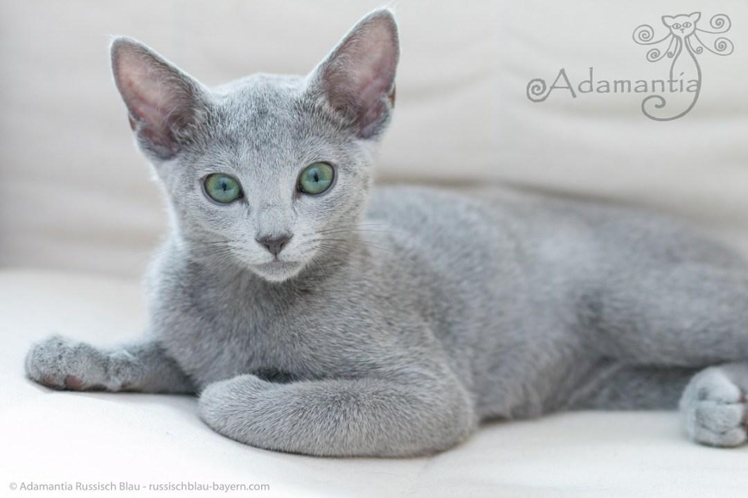 Russisch blau Katze Mia-8