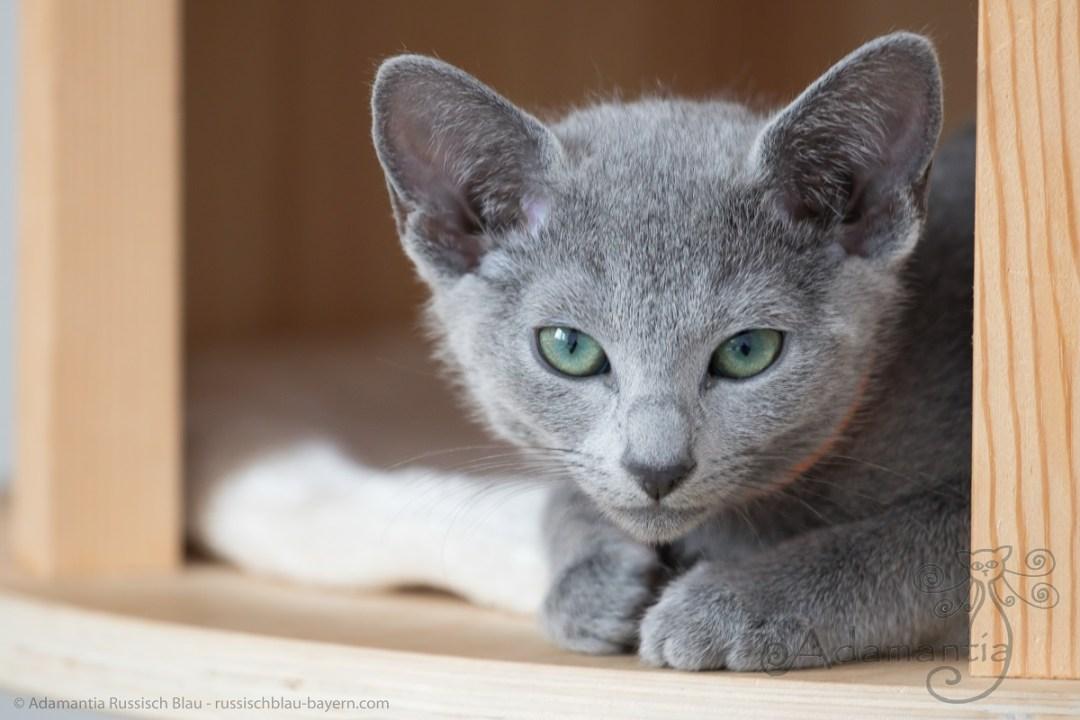 Russischblau Kitten M-N Wurf in Kratzbaum