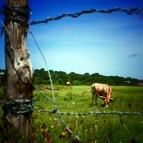 Longhorns and barbedwire
