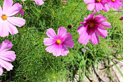 Beautiful flowers in a neighborhood garden
