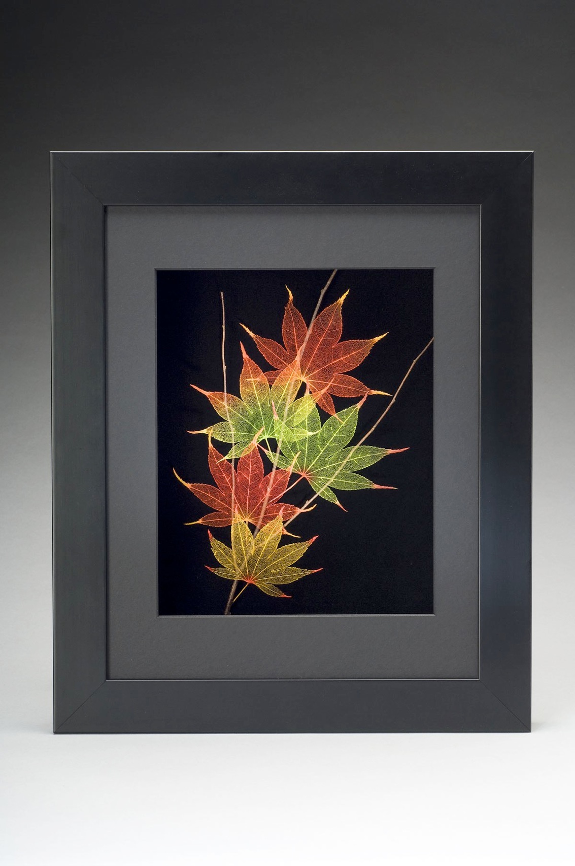Etched Skeletonized Leaves In Frame Japanese Maple