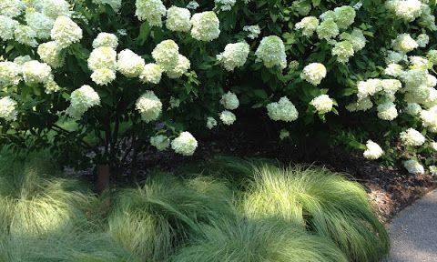 Pluim hortensia met heidegras