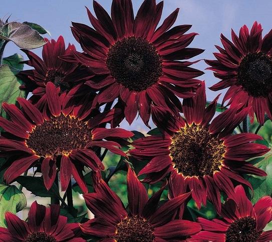chianti hybrid sunflower