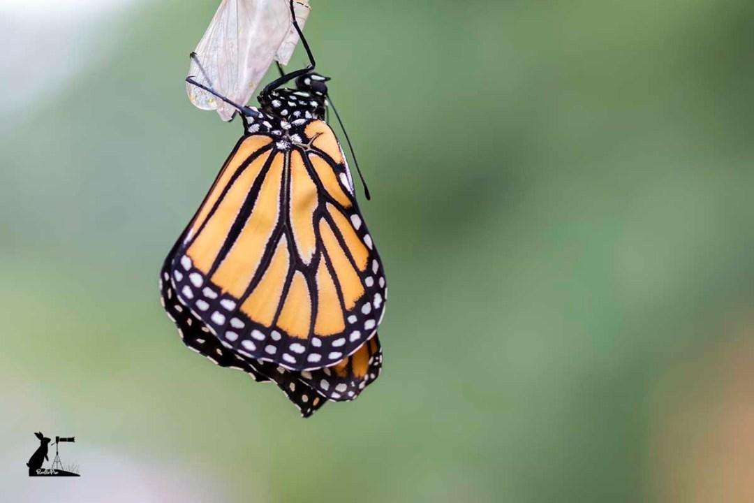 monarch butterfly drying wings green