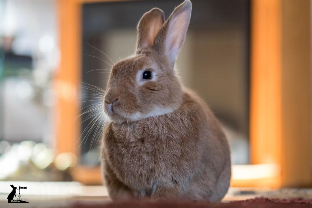 rufus rabbit
