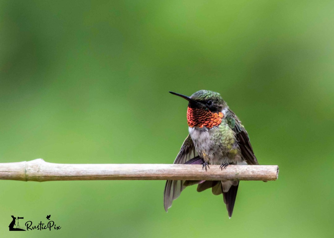 ruby throated hummingbird male perched