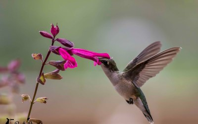 Photographing Hummingbirds in Flight – 8 Top Tips