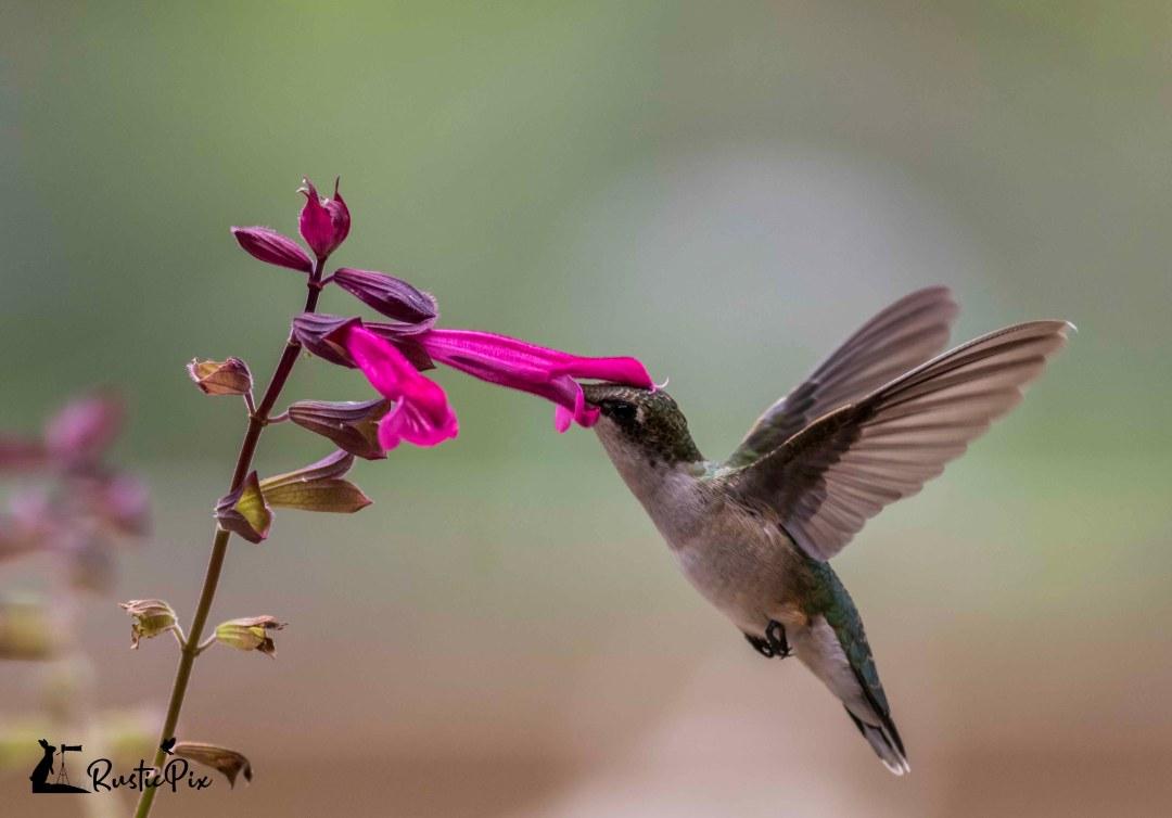 hummingbird on salvia