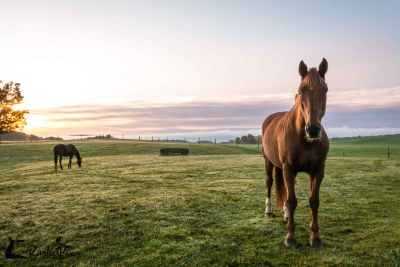 Horses on field at sunrise