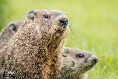Mama Groundhog and kits