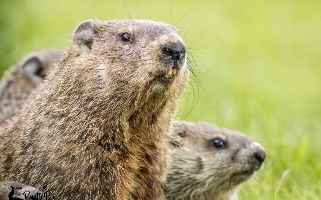 Mama Groundhog and kits