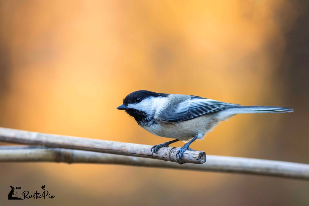 chickadee fall