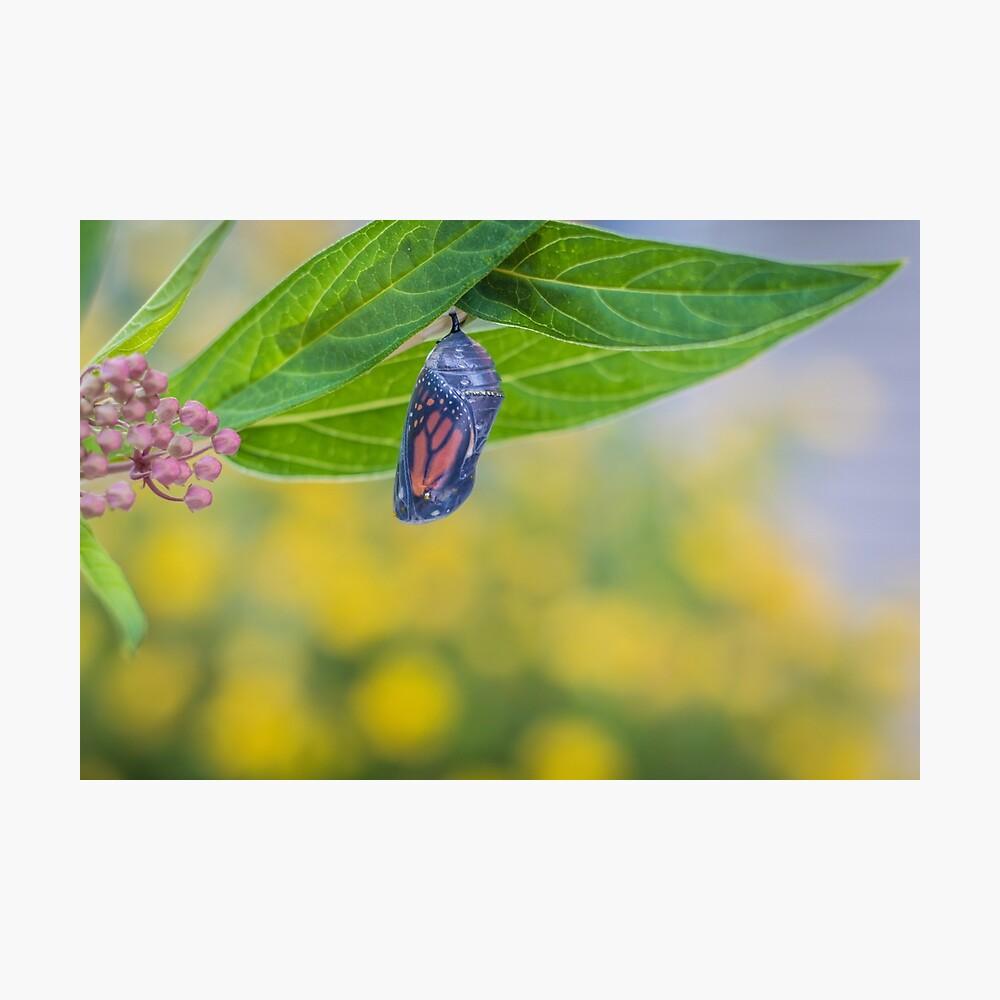 monarch chrysalis on swamp milkweed yellow flowers