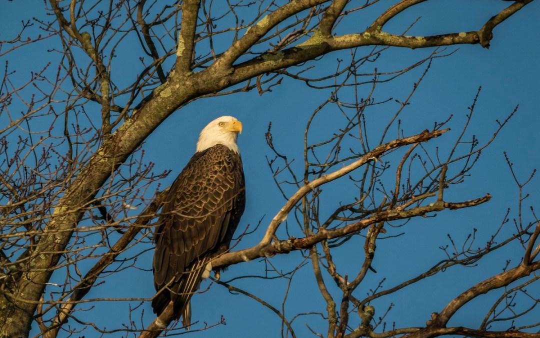 Bald Eagle perches in tree