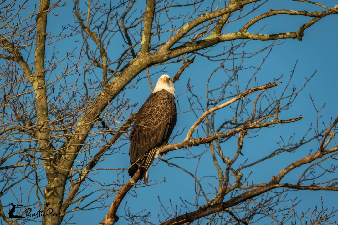 bald eagle with ext