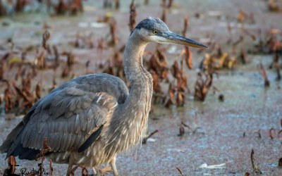 The Great Blue Heron vs. the Vole