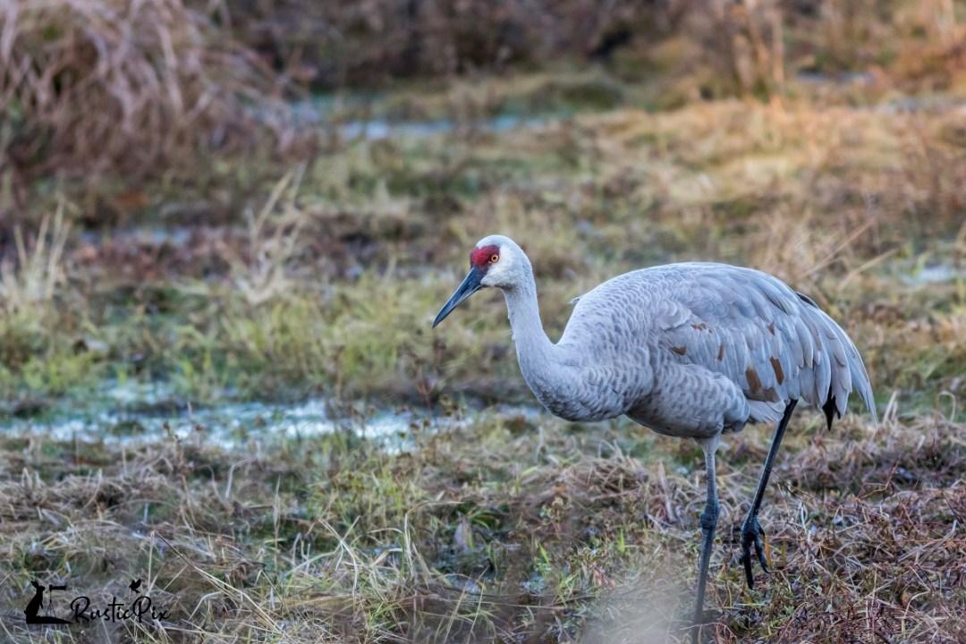 sandhill crane rustic pix