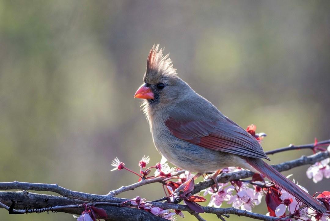 cardinal spring