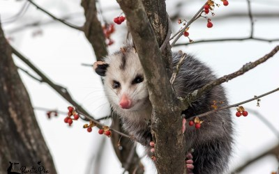 Opossum in a Bare Tree and Fun Habitat Facts