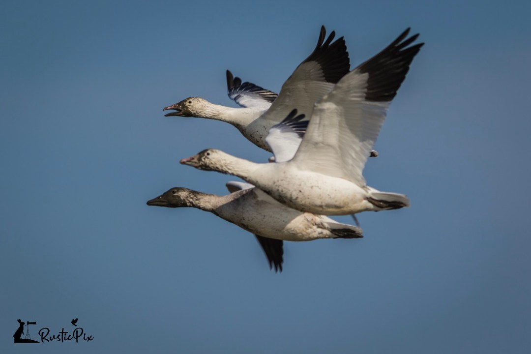 snow geese at forsythe