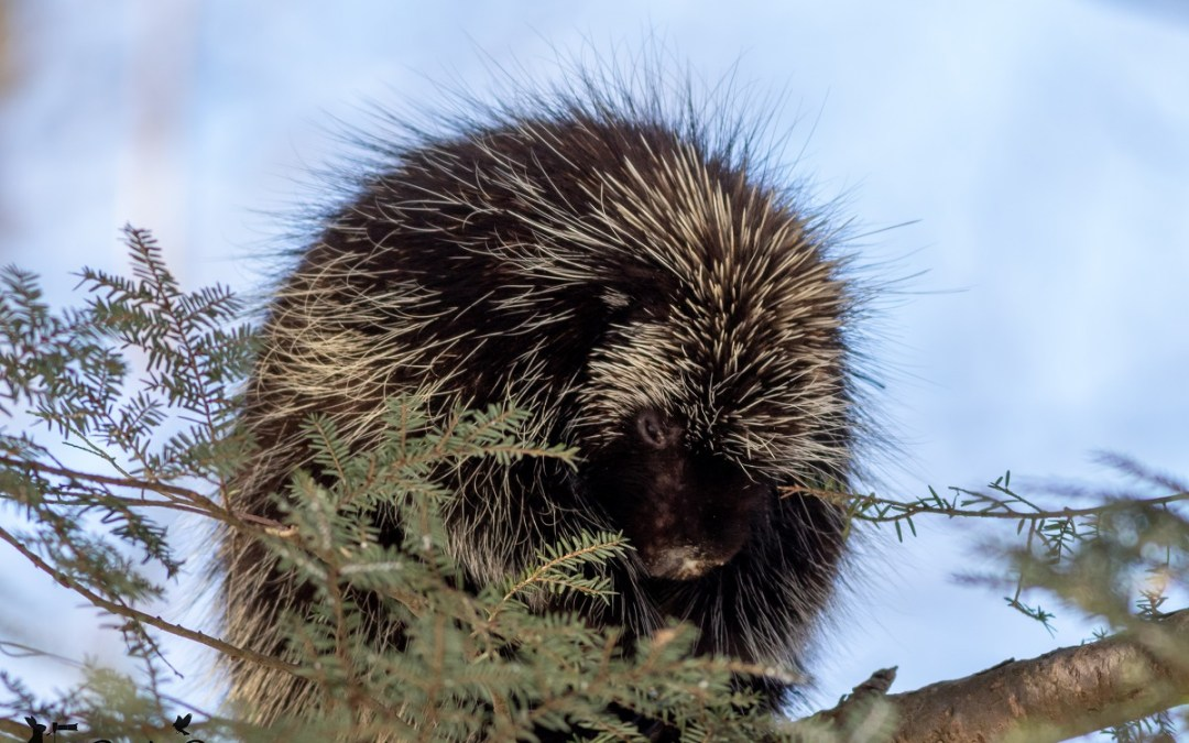 A Winter Hike and Wildlife:  Looking for Porcupines
