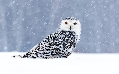 Snowy and Short-Earred Owls
