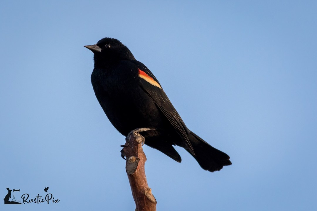 red winged blackbird blue background