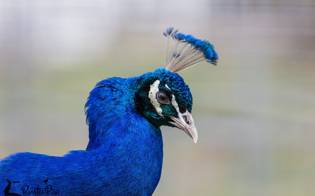 peacock RP