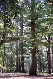 cedar-forest