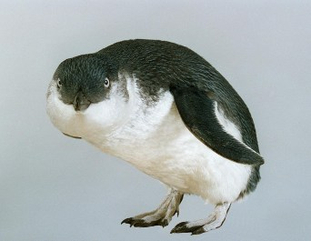 Little Penguin, Eudyptula minor variabilis, collected 24 Nov 1994, Titahi Bay, Wellington, New Zealand. CC BY-NC-ND licence. Te Papa (OR.025037)