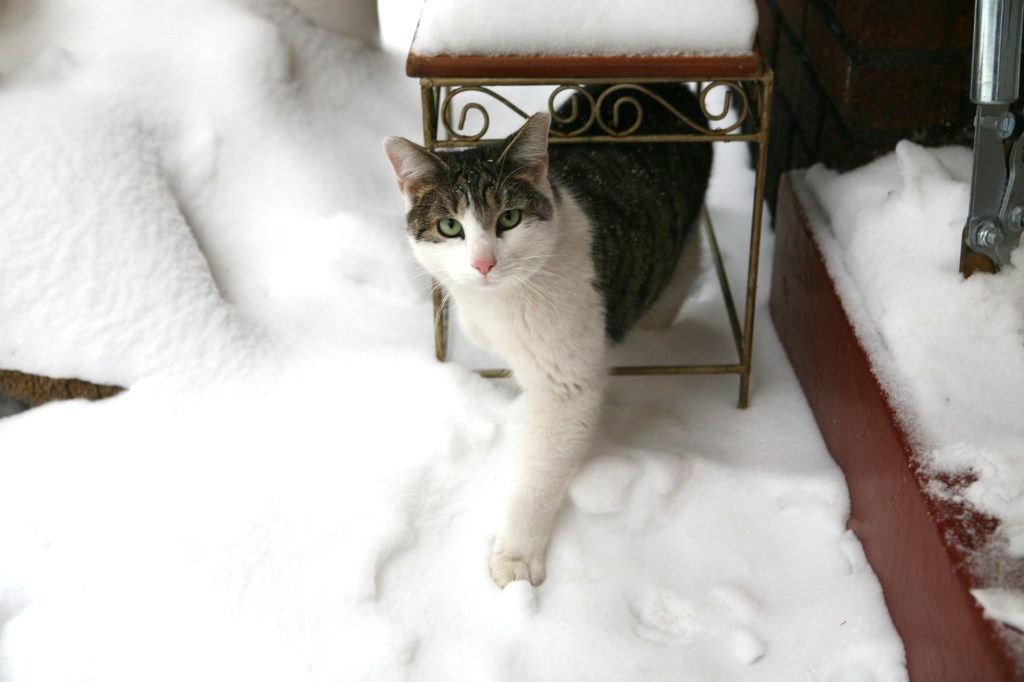 Feral Cat in the Snow