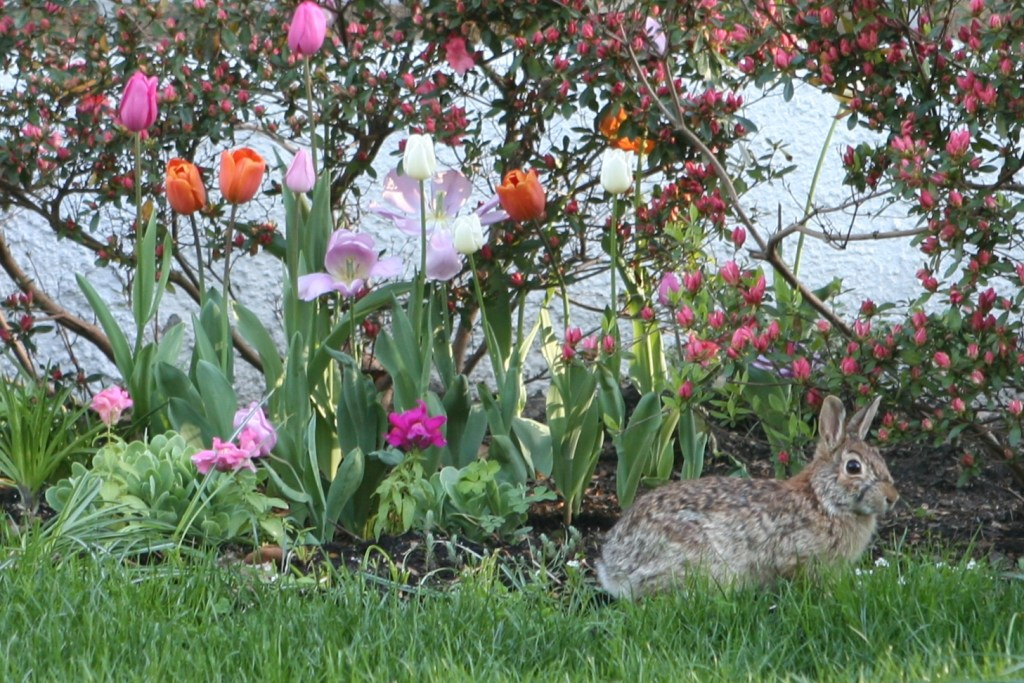 Rabbit in the front yard by the tulips.