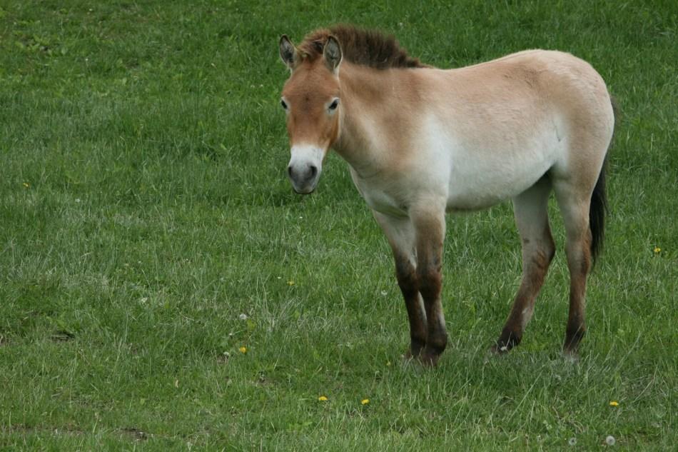 Przewalski Wild Horse