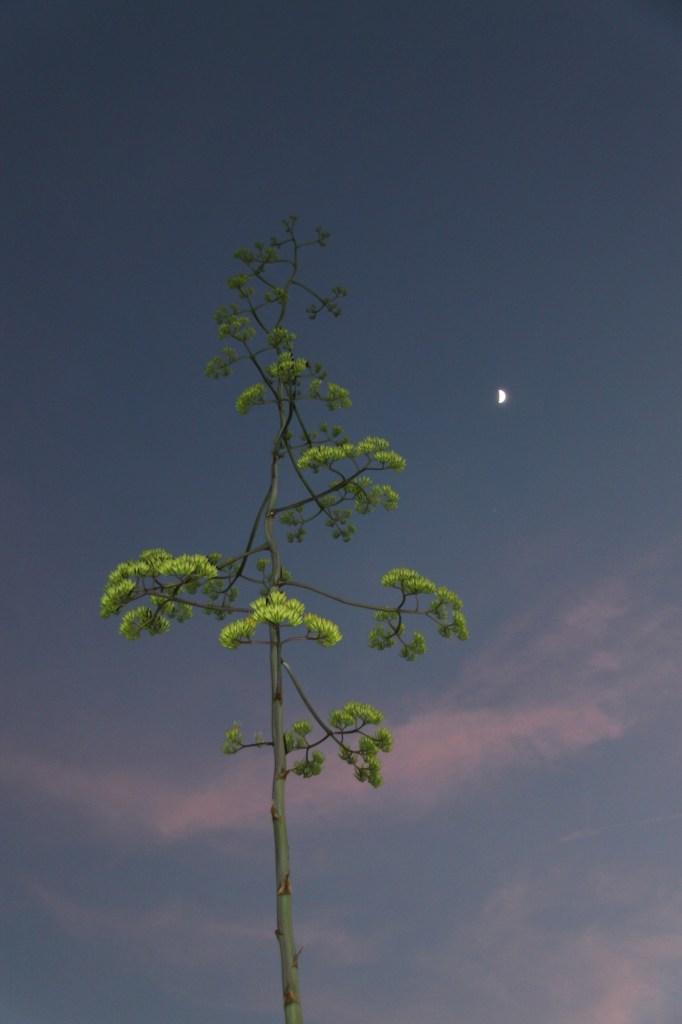 century plant 8