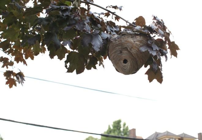 Hornet nest4