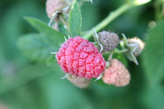 Okanogan Raspberry at my brother's