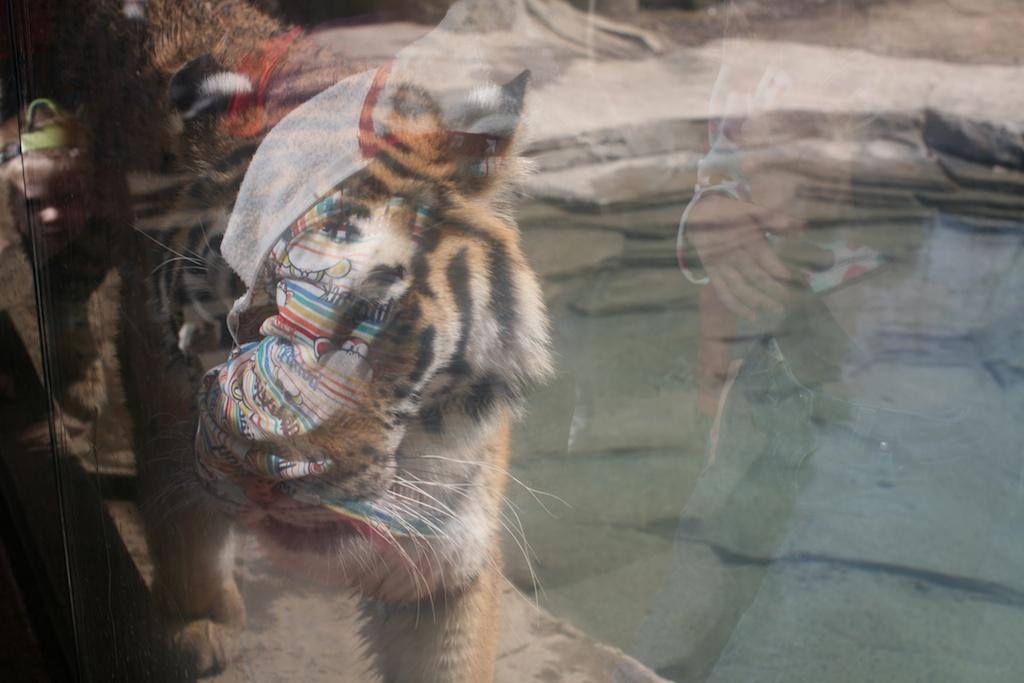 tiger window 1