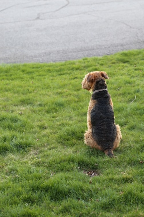 Airedale Waits