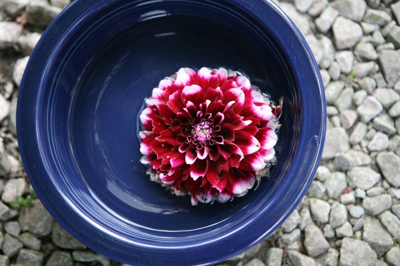 Dahlia Floating in Fiestaware Bowl