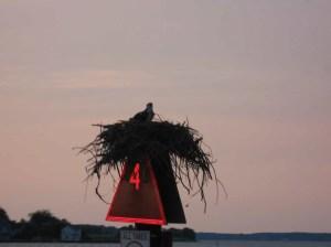 Osprey on a nest near Dogwood Harbor