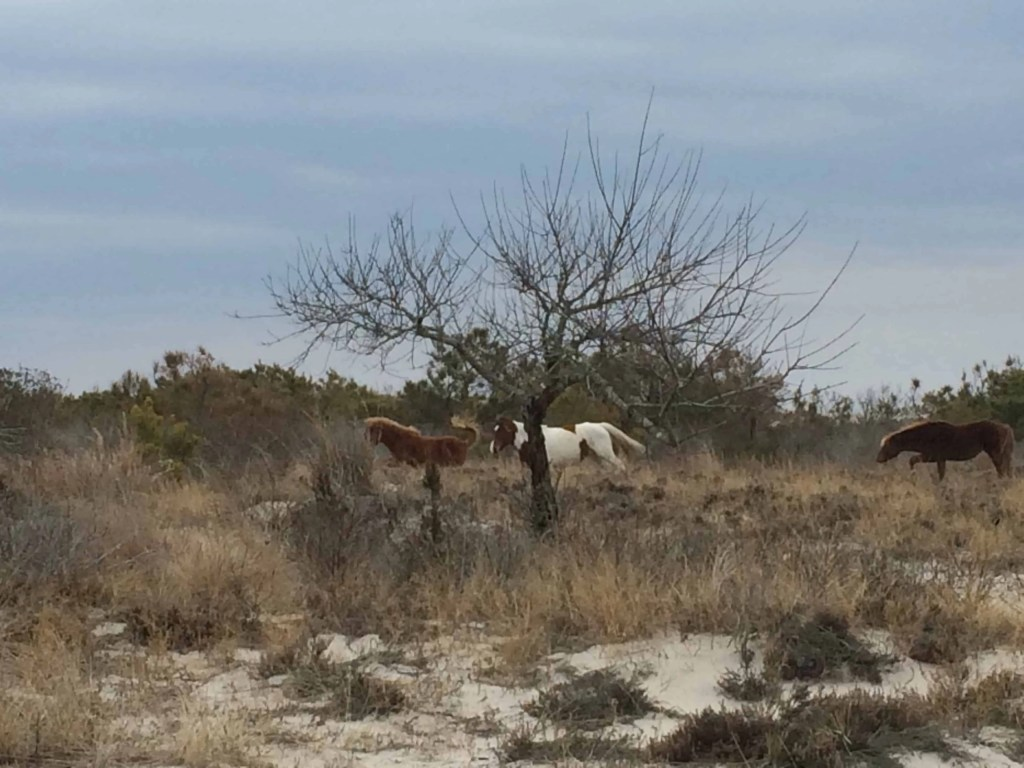 ponies on Assateague Island
